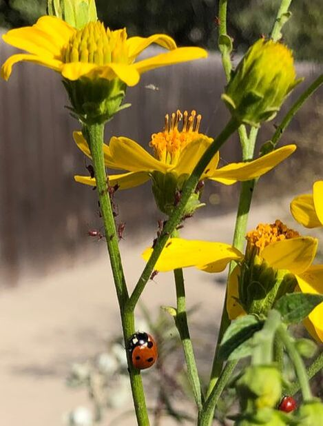 Ladybird Beetle heading to dinner of Aphids on Verbesina hastata, Santa Barbara Mesa Insectary Garden