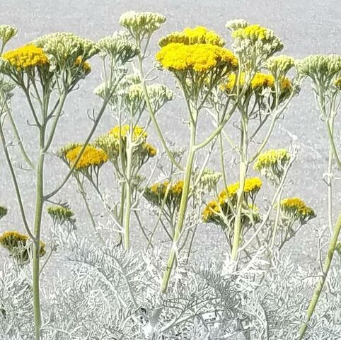 Eriophyllum nevinii 'Canyon Silver', Woolly Sunflower
