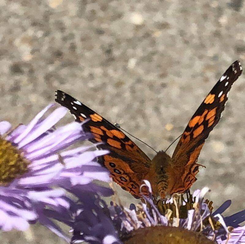 Checkerspot Butterfly on Erigeron glaucus 'Bountiful', Seaside Daisy, Santa Barbara Mesa Insectary Garden